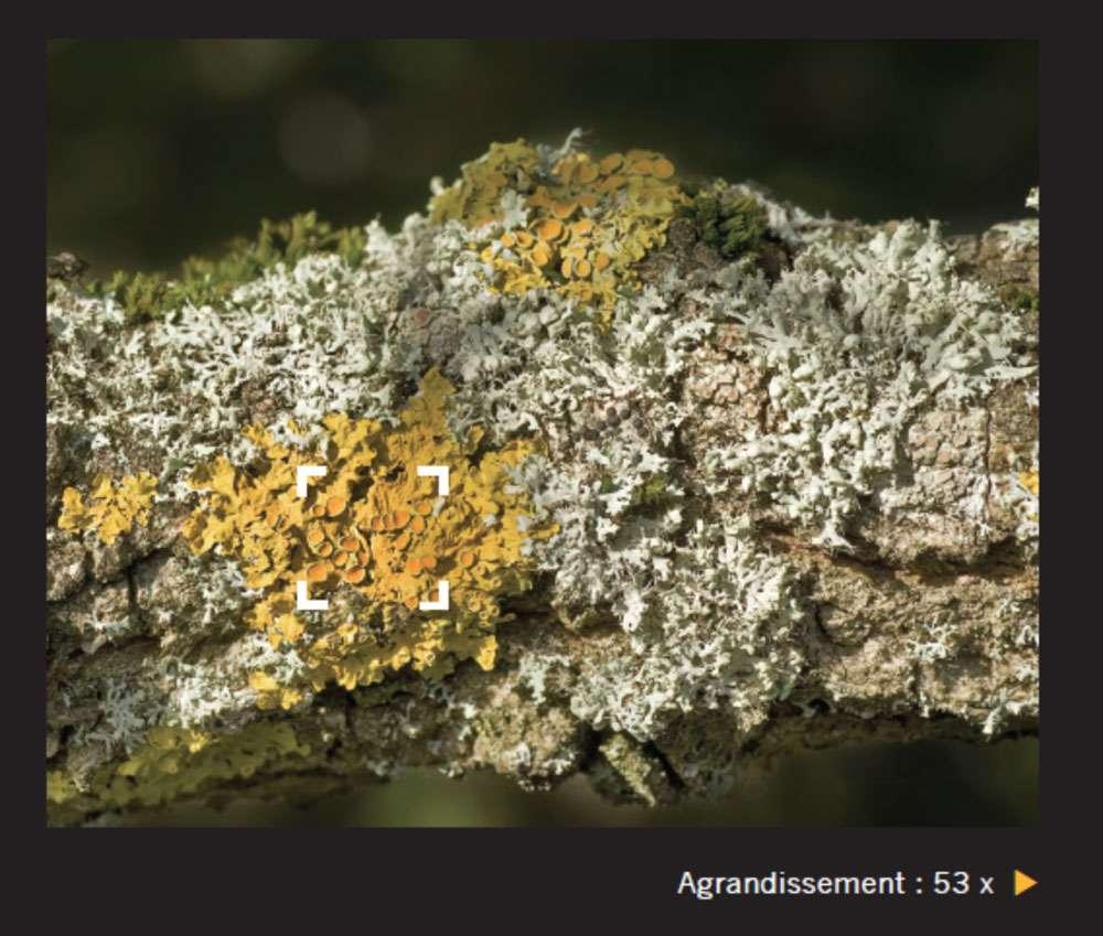 La double nature du lichen n'a été découverte qu'au XIXe siècle. Aujourd'hui classés parmi les mycètes, les lichens ont longtemps été catalogués parmi les mousses ou les algues. © Giles Sparrow, Dunod, DR