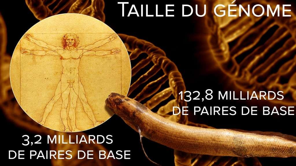 Taille du génome : le protoptère, champion du règne animal