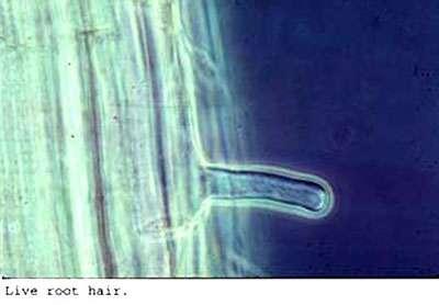 Les poils absorbants de la racine sont produits dans la zone pilifère. © DR
