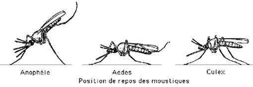 Anophèle et autres moustiques en positions de repos.
