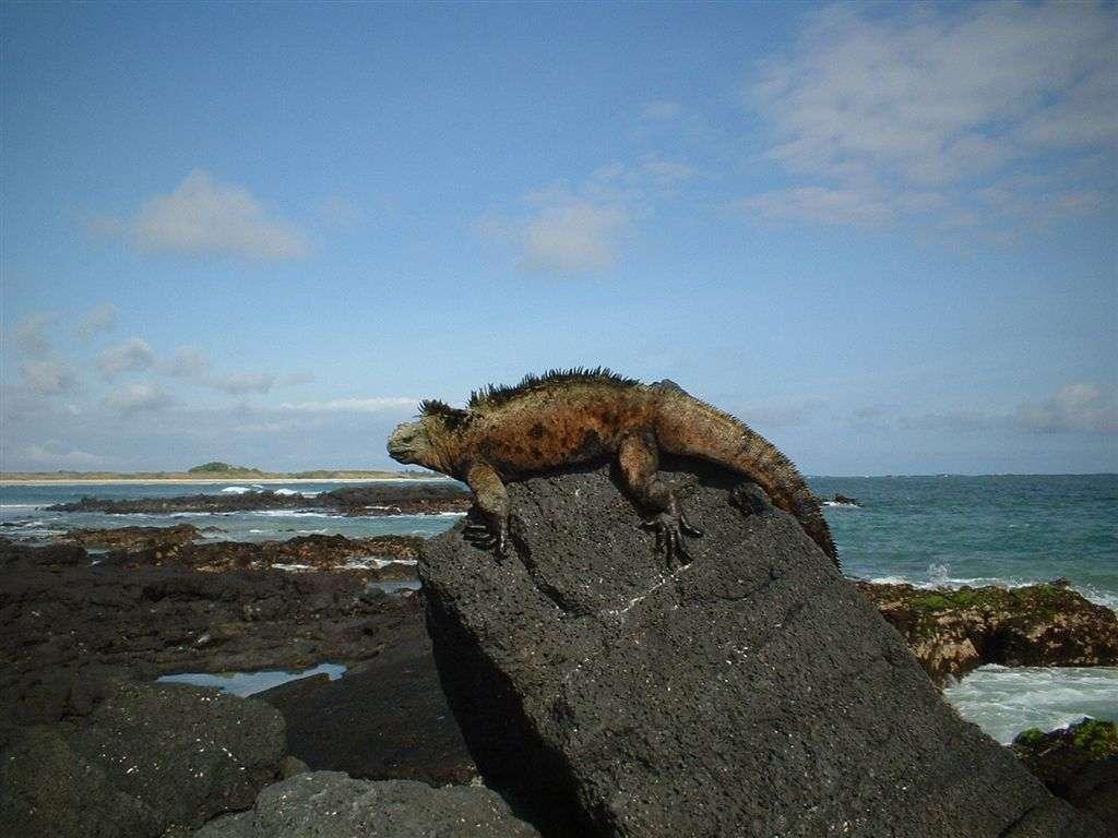 D'origine volcanique, les îles Galápagos se situent dans le Pacifique à plus de 900 km de l'Équateur. On y trouve 58 espèces d'oiseaux, dont 28 endémiques. Plus de 300 espèces de poissons sont recensées, et l'iguane marin y est le maître. © Datune, Wikipédia, DP