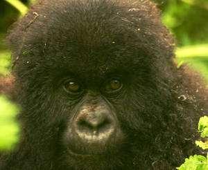 Grands singes - Regard d'un jeune gorille - crédit : TKnoxB