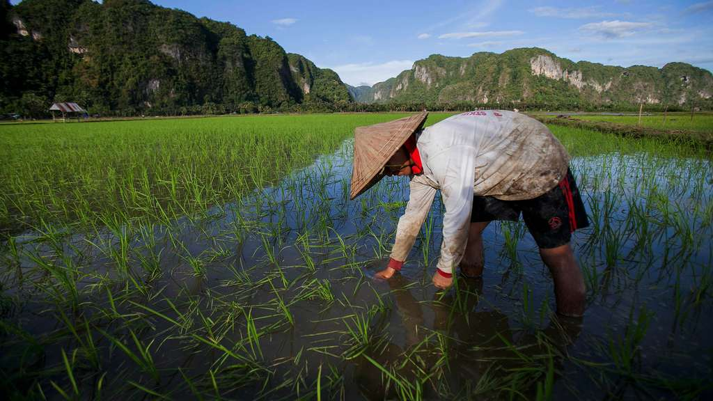 Le riz, aliment emblématique de l'Asie