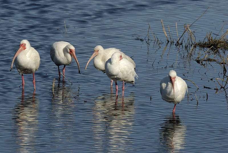 Site de nourrissage typique de l'ibis blanc. © Hans Stieglitz, CC BY-SA 3.0