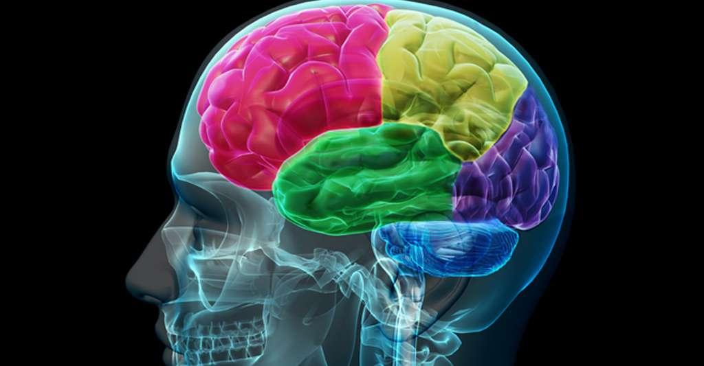 La méningite est une inflammation des méninges. Ici, une vue du cerveau. © Allan Ajifo, CC by-nc 2.0