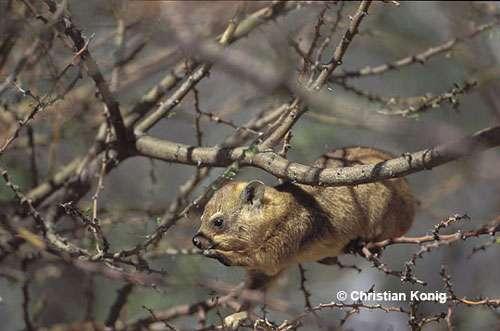 Jeune Daman des rochers, Procavia capensis, Namibie. © Christian König - Reproduction et utilisation interdites