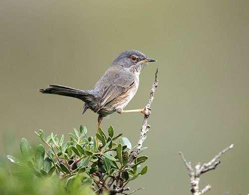 La fauvette pitchou est un petit oiseau passereau présent dans la réserve naturelle de Pinail. © Carles Pastor, Wikipédia, licence Creative Commons paternité – partage à l'identique 3.0 (non transposée)