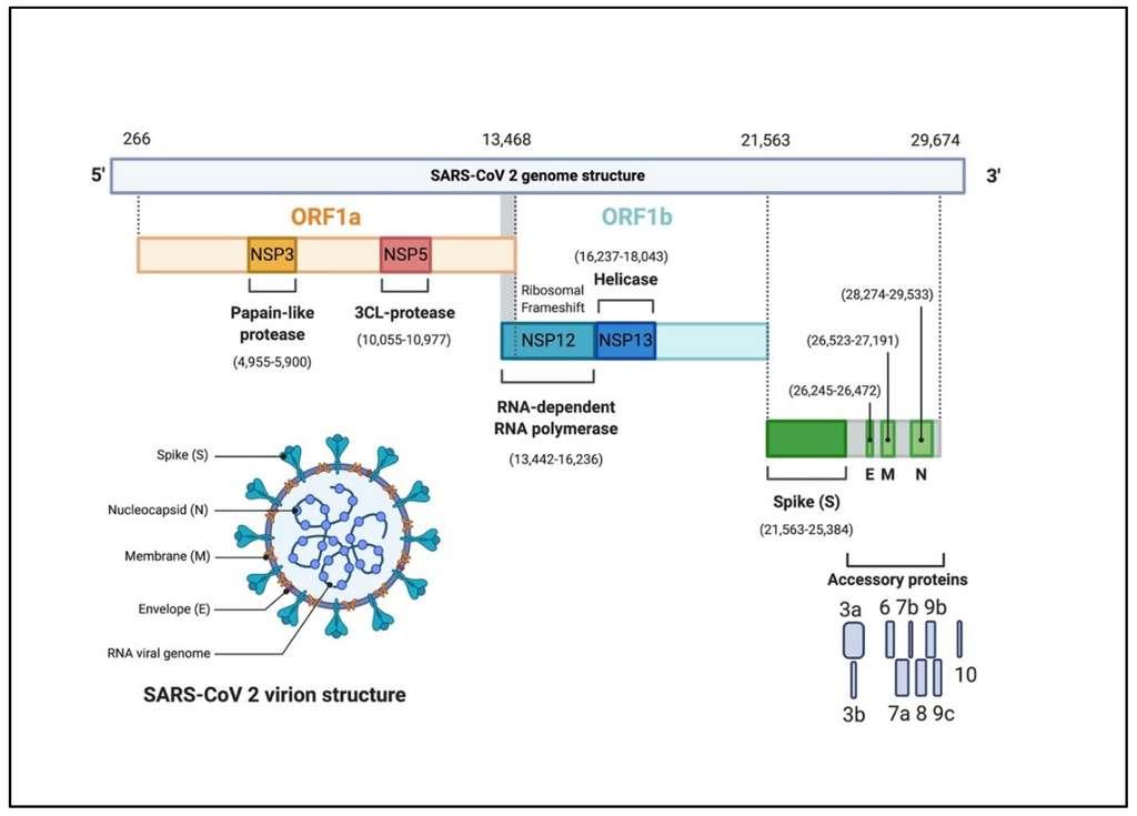 Le coronavirus SARS-CoV-2 est constitué d'un brin d'ARN unique de 29.674 nucléotides, dont chacune est susceptibles de muter lors de la réplication du virus. © Pathogens 2020