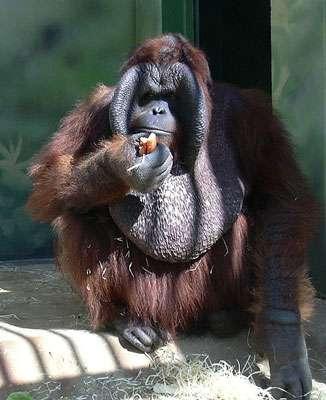 Grands singes - mâle orang outan de Bornéo © Miraceti GNU Free Documentation License, Version 1.2
