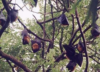 Mégachiro dans les arbres.