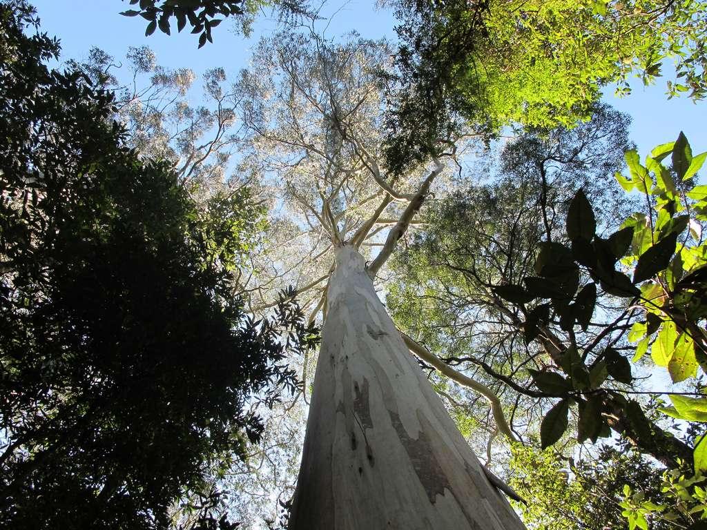 Les eucalyptus, comme cet Eucalyptus regnans, sont originaires du sud de l'Australie. Icarus Dream, le plus grand spécimen connu, mesure entre 90 et 100 m de haut. © Nathan Johnson, Flickr, cc by nc sa 2.0