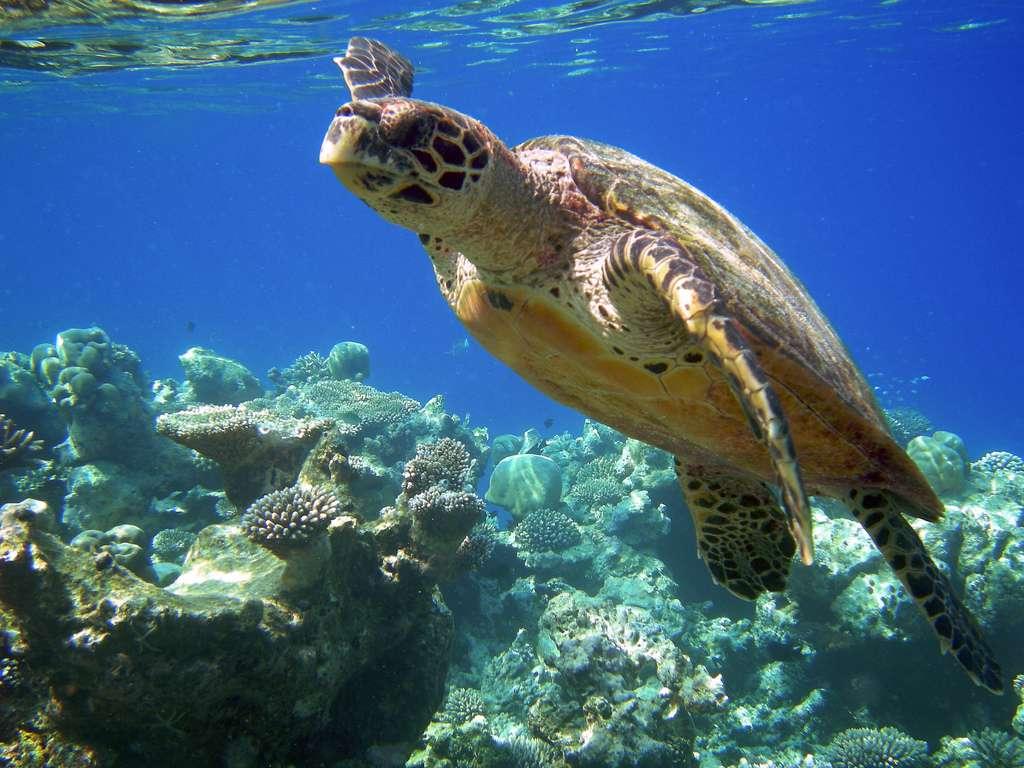 La tortue imbriquée se nourrit surtout d'éponges. © Mr eNil, CC BY-NC-ND-SA 2.0