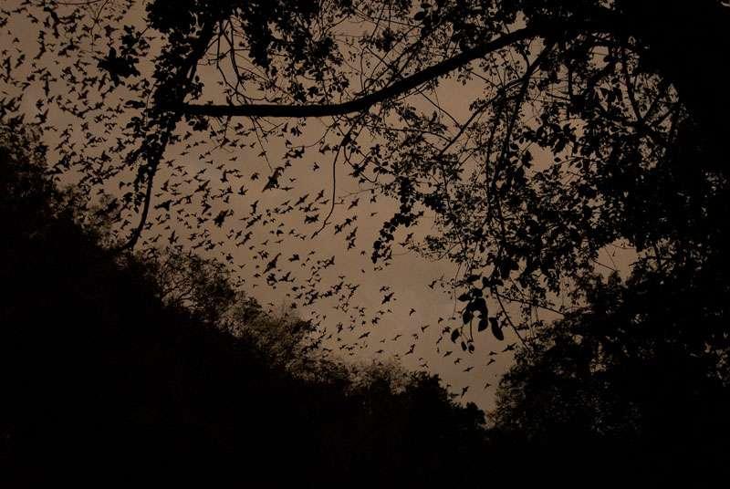 Envol de chauve-souris, Mexique. © Sylvain Lefebvre et Marie-Anne Bertin, DR
