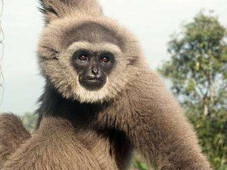 Le gibbon cendré (Hylobates moloch), Indonésie. Crédit : CI/Sunarto