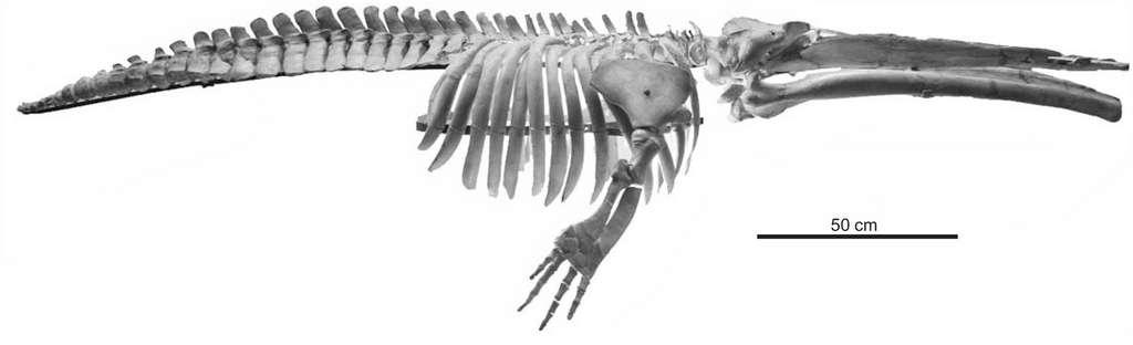 Cetotherium riabinini est la plus petite baleine qui ait jamais peuplé la planète. © Pavel Gol'din et al, Acta Palaeontologica Polonica, 2013