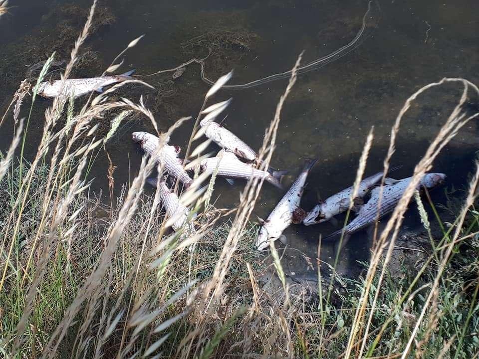 Des milliers de poissons morts dans les marais d'Olonne. © Jean-Yves Bourcereau, Facebook