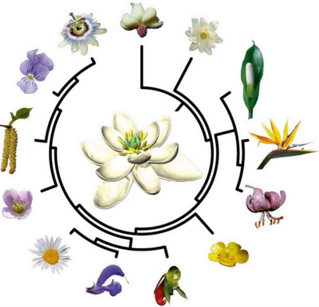 Arbre évolutif des plantes à fleurs. © H. Sauquet, J. Schönenberger, CNRS