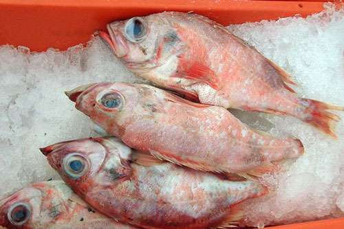 Sebastes marinus, une espèce de poisson vulnérable pourtant pêchée et servie dans les cantines. © Tvabutzku1234, CC0 1.0, domaine public