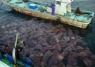 Les méduses géantes (Nemopilema nomurai) prolifèrent sur les côtes japonaises. Elles sont une véritable plaie pour les pêcheurs, car elles peuvent casser ou boucher les filets. La méduse géante du Japon peut peser jusqu'à 220 kg et faire 2 m de diamètre. Sa piqûre est extrêmement douloureuse mais n'est pas très toxique pour l'Homme. © Dr. Shin-ichi Uye