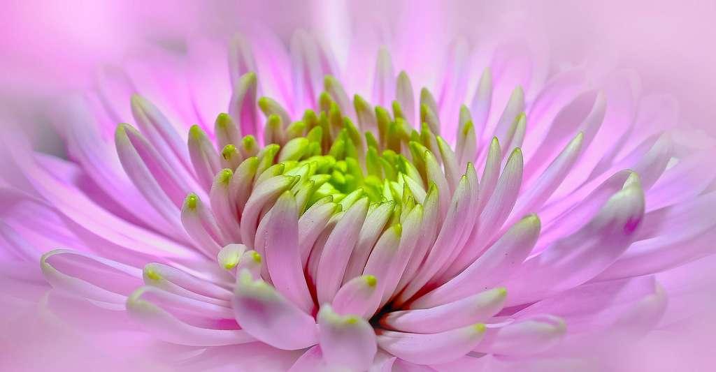 Ne mouillez pas les fleurs. Ici, cœur de dahlia rose. © Foto-Rabe, Pixbay, DP