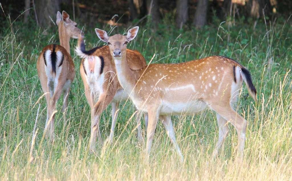 L'arrière-train du daim est tout à fait caractéristique. Ici, des femelles, appelées « daines ». © hansbenn, Pixabay, DP