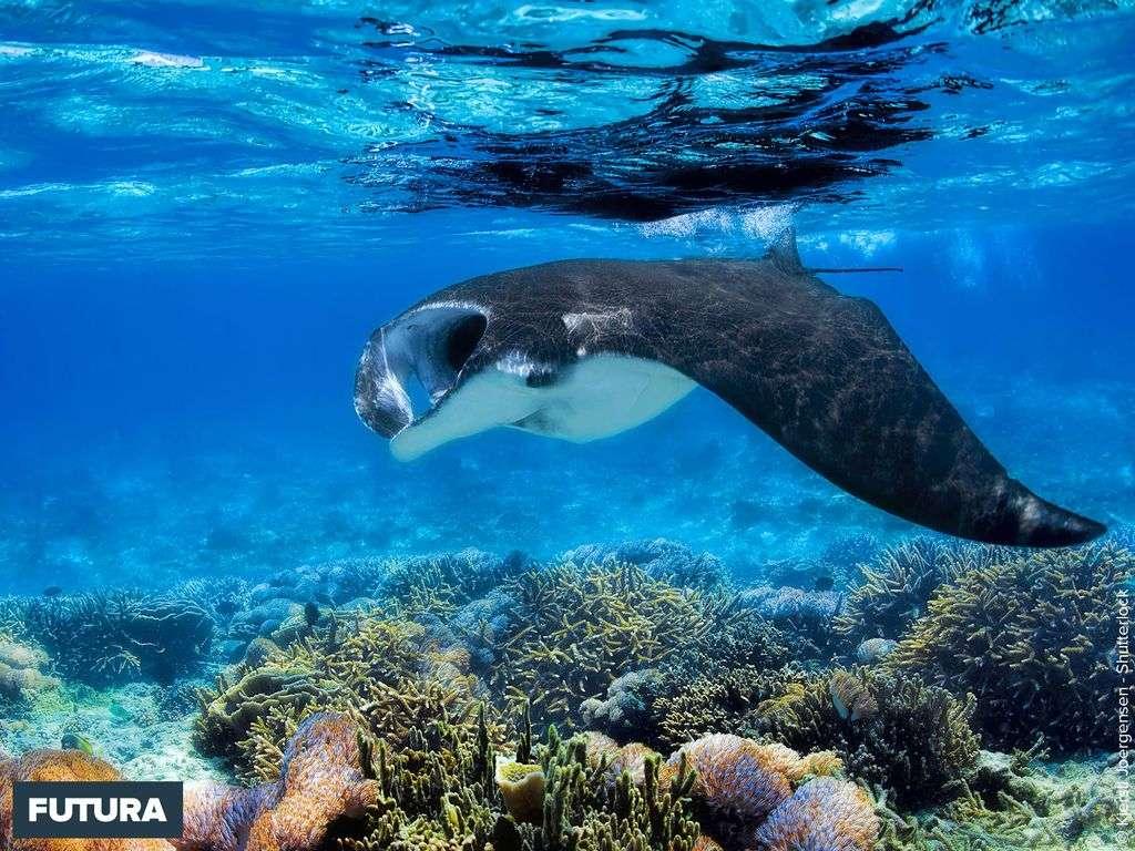 Raie manta île de Komodo