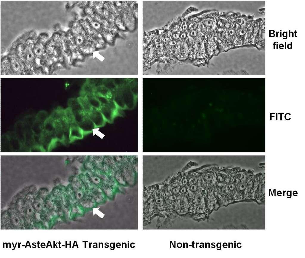 Images de l'intestin de moustiques transgéniques exprimant la protéine Akt (à gauche) et non-transgéniques (à droite). La protéine Akt est visualisée par immunolocalisation grâce à des anticorps fluorescents spécifiques (vert). Les flèches montrent les membranes cellulaires de l'épithélium. Les images du bas sont une superposition des deux images supérieures, prises au microscope optique (haut) et à fluorescence (milieu). © Université d'Arizona / Plos Pathogen
