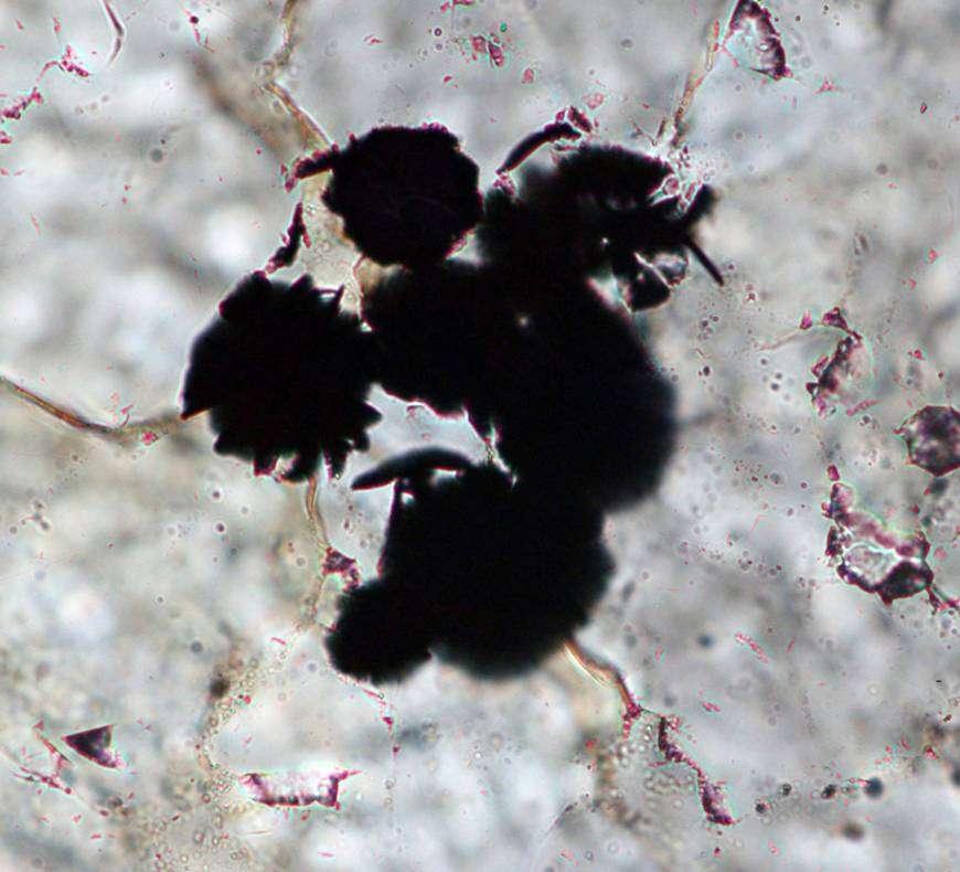 Des grains de graphites, trouvés dans des roches du Labrador, ont été observés au microscope. © Komiya et al., Nature