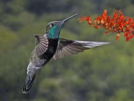 Ce colibri de Rivoli pratique le vol stationnaire pour se nourrir du nectar des fleurs. © naturespicsonline.com, CC by-sa 3.0
