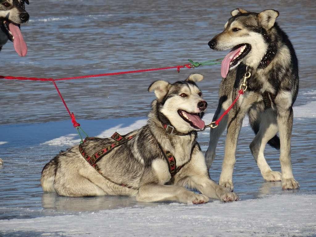 « Les chiens ont été héroïques. » © Taïga