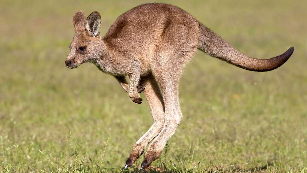 Petit kangourou fera des bonds de géant