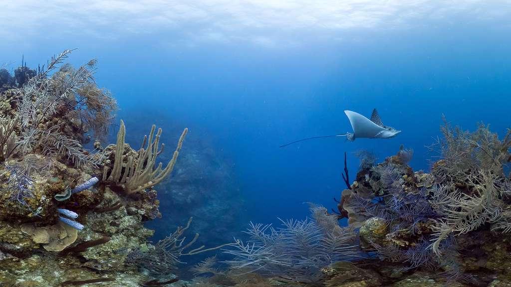 Une raie-aigle dans les récifs de Long Caye