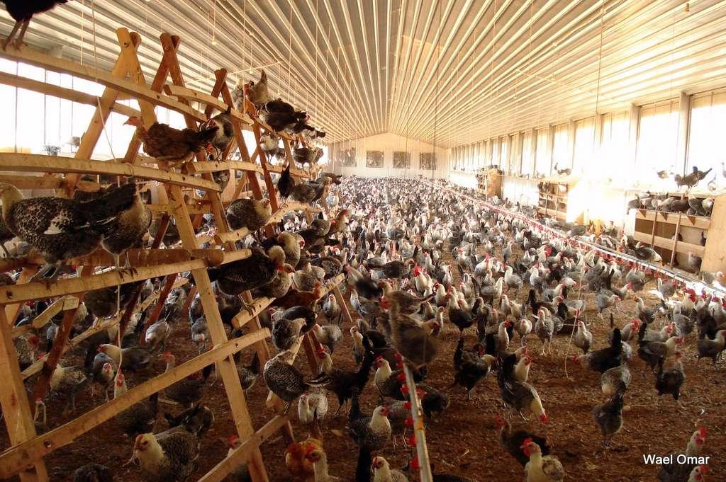 La grippe aviaire H5N1 se transmet de façon interespèce des oiseaux à l'homme, mais pas encore d'homme à homme. © SEKEM Biol102-F08, Flickr, CC by-nc-nd 3.0