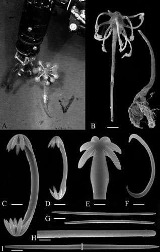 La récolte d'un « arbre à boule », Chondrocladia koltuni, par le sous-marin russe Mir dans la fosse des Kouriles, par 5.249 mètres de fond, son aspect après récolte, et ses divers spicules. © Vacelet, 2006