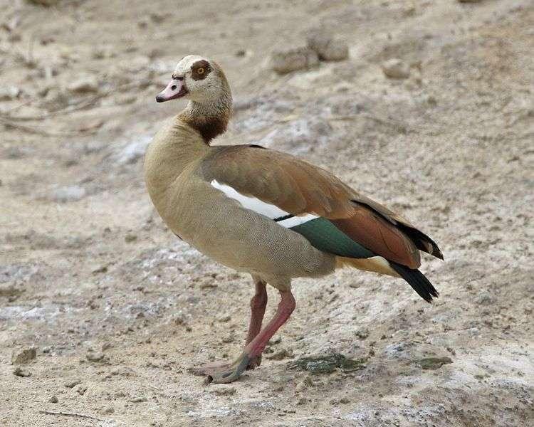 Ouette d'Égypte dans le Masaï Mara, au Kenya. © Lip Kee Yap, Wikipédia, cc by sa 2.0