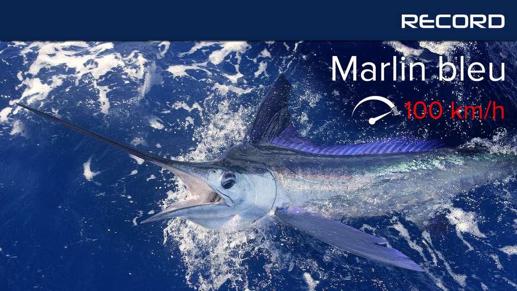 Le marlin bleu, le sprinteur des océans