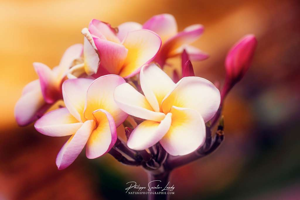 La fleur du frangipanier, une fragrance enivrante