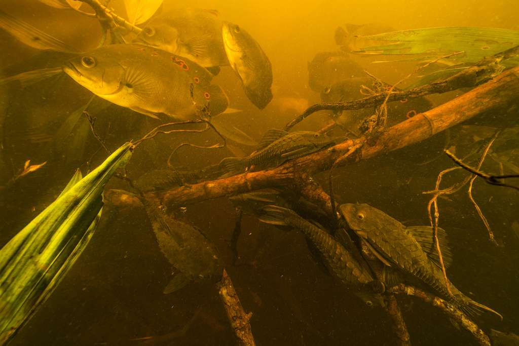 Les Carachamas, des brouteurs d'algues