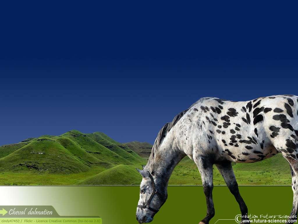 Cheval dalmatien
