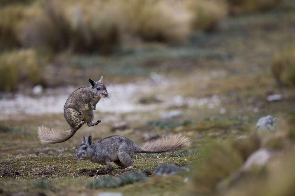 Viscache bondissant