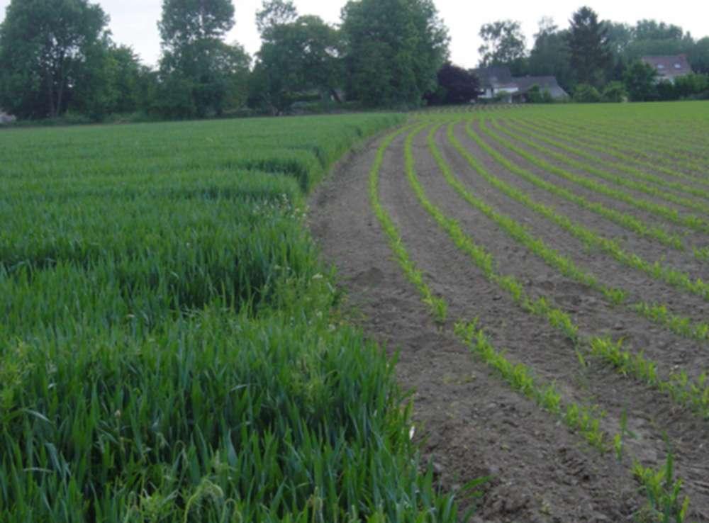 Au mois de mai, lorsque surviennent les premiers orages, une parcelle de maïs (à droite) présente une sensibilité plus forte à l'érosion qu'une parcelle de blé (à gauche). © O. Evrard