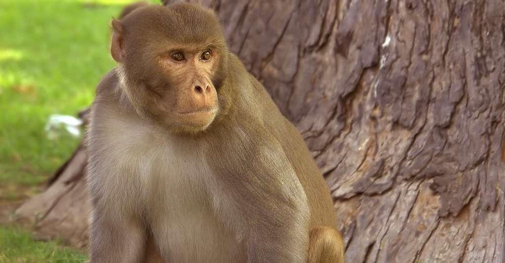 Macaque rhésus. © Yann - Domaine public