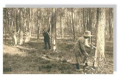 Résiniers et résinières - Comme le montre cette carte postale ancienne, le gemmage des pins n'était pas réservé aux seuls hommes © Claude Courau - Collection privée - Tous droits réservés
