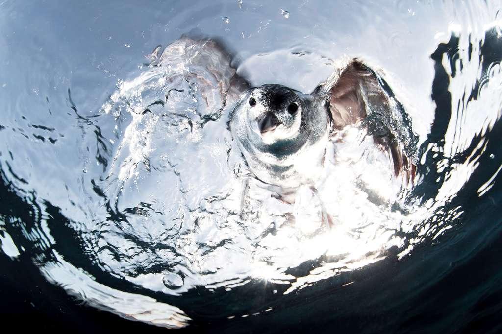 Un petrel bien curieux dans l'océan Pacifique