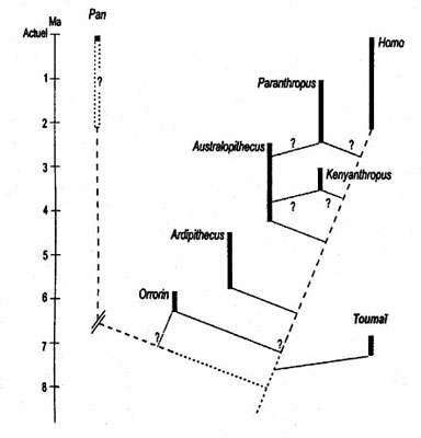 Phylogénie de l'homme de Toumaï