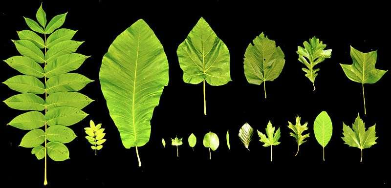 Ces feuilles d'angiospermes présentent des longueurs très variées que l'on peut majoritairement observer chez des arbres de moins de 30 m de haut. Au-delà de cette limite, les structures foliaires mesurent généralement entre 10 et 20 cm. Les tissus conducteurs de sève s'observent au sein des nervures. © Kaare Jensen (Harvard University), Maciej Zwieniecki (UC Davis)