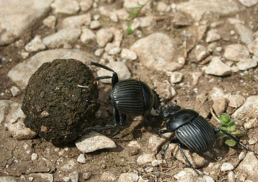Les bousiers se nourrissent d'excréments. Ils vivent tant dans les déserts que les terres cultivées, les forêts et les prairies. © Rafael Brix, Wikipédia, GNU 1.2