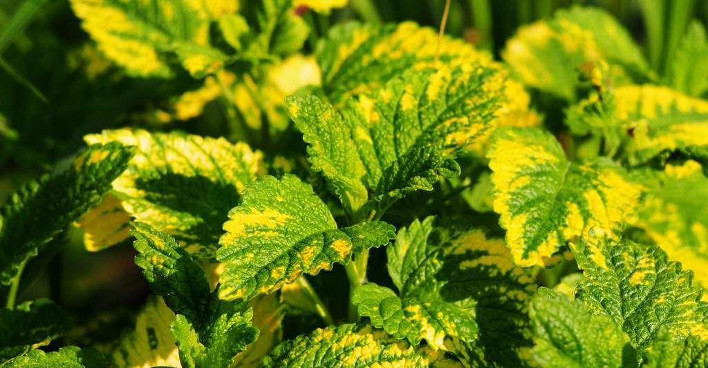 La mélisse a un goût citronné. © Anna Gratys, Shutterstock