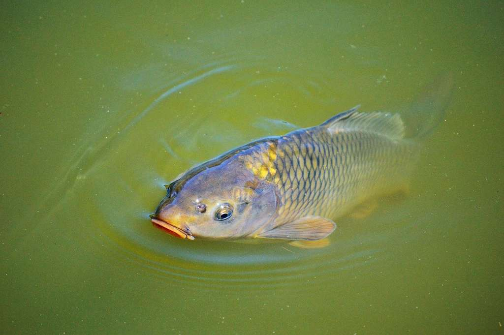 La carpe, un des principaux poissons herbivores, est aussi un des poissons les plus élevés dans le monde, avec le tilapia. © Capri23auto, Pixabay, DP