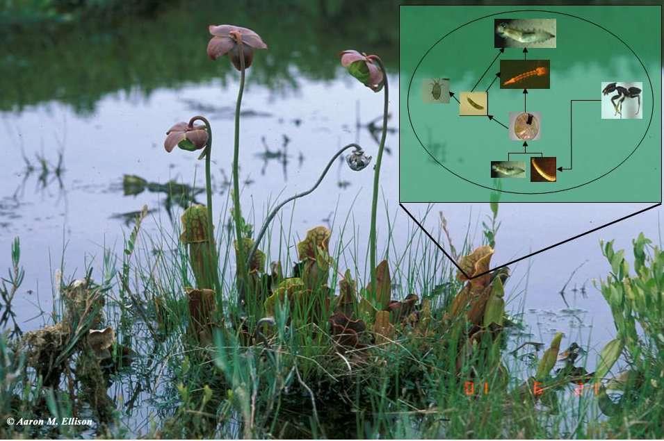 L'encart présente les liens trophiques unissant les invertébrés qui vivent dans les urnes de la plante carnivore Sarracenia purpurea. En d'autres mots, le diagramme nous montre qui mange qui. © Aaron Ellison